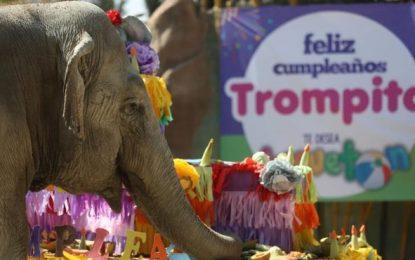 Se llama Trompita, la elefanta celebró este domingo sus 56 años muy emocionada