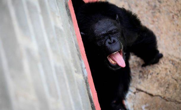 Los chimpancés tienen la misma personalidad durante décadas
